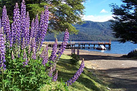 Lupinos en flor en Villa Traful, provincia de Neuquén