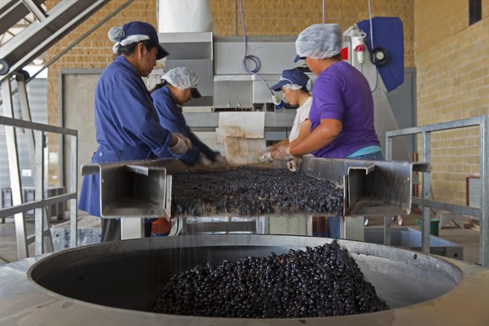 Selección manual de las uvas para el proceso del vino