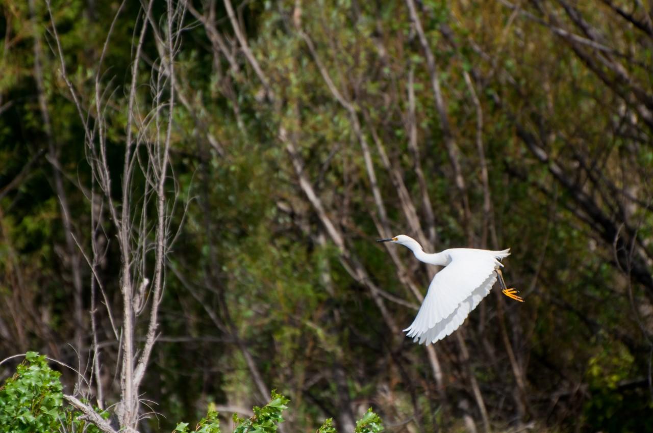 garza blanca en vuelo