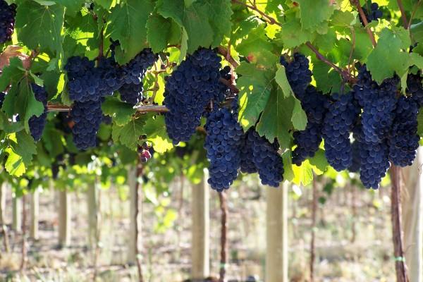 bodegas vinos uvas vid