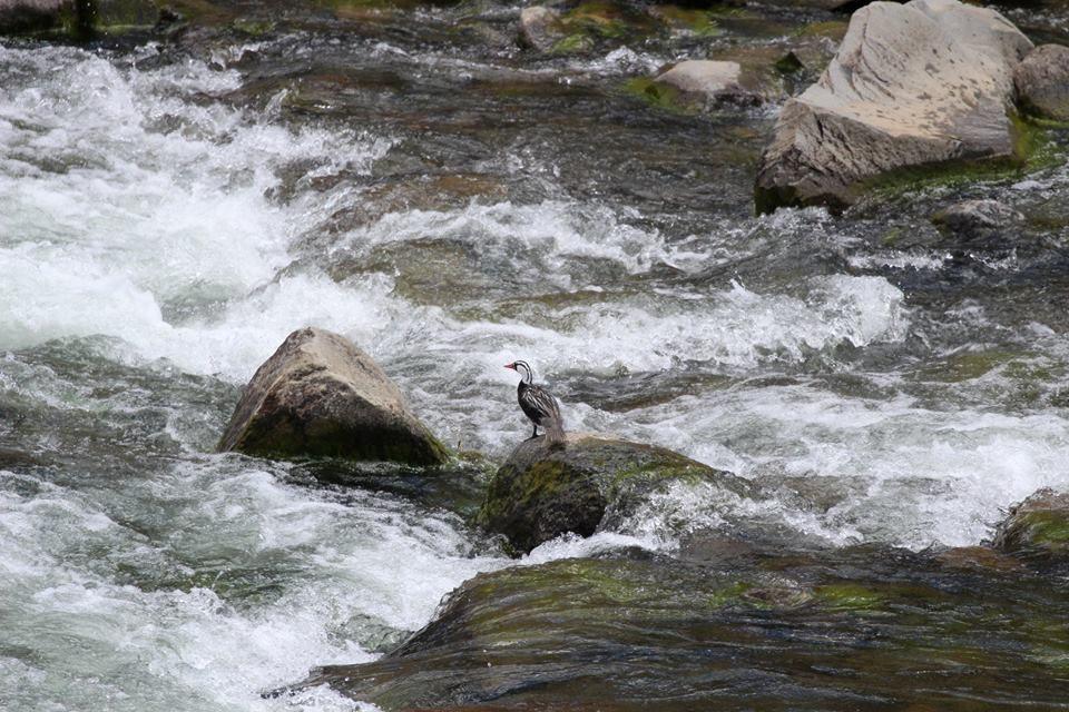 pato de los torrentes